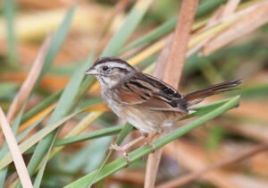 Swamp Sparrow by Gary Woods