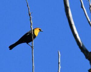 Yellow-headed Blackbird by Cecelia Sheeter