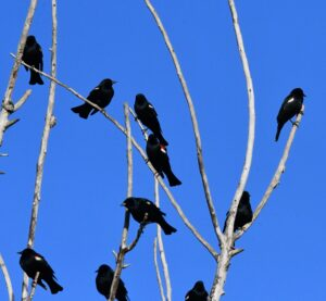 Tricolored Blackbirds by Cecelia Sheeter