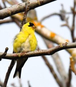 American Goldfinch by Cecelia Sheeter