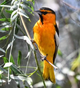 Bullock's Oriole by Cecelia Sheeter