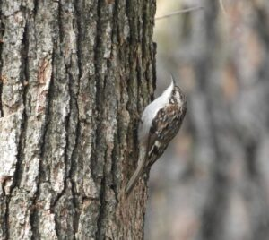 Brown Creeper by Nina Jones