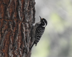 Female Nuttal's Woodpecker by Larry Parmeter
