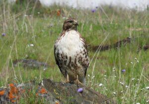 Red-tailed Hawk by Nina Jones