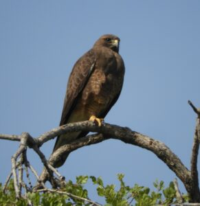 Swainson's Hawk by Nina Jones