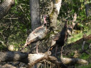 Wild Turkey by Nina Jones