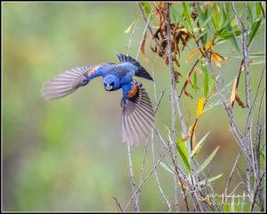 Blue Grosbeak by Gary Kunkel