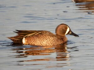 Blue-winged Teal by George Folsom