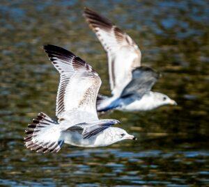 California Gulls by Marty Aubin