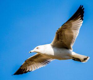 California Gull by Marty Aubin