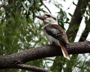 Laughing Kookaburra by Cara Barnhill