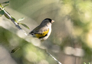 Lawrence's Goldfinch by Larry Cusick