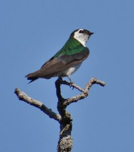 Violet-green Swallow by Cara Barnhill