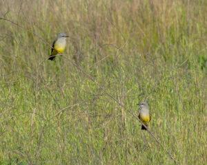 Western Kingbirds by Dan Cobb