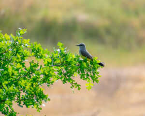 Western Kingbird by Dan Cobb