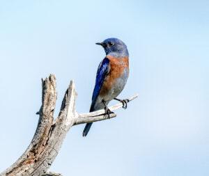 Western Bluebird by Larry Cusick