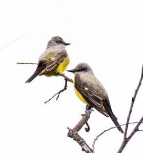 Western Kingbirds by Larry Cusick