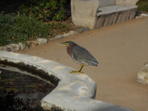 Green Heron by Nathan Parmeter