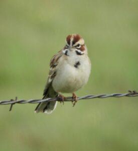 Lark Sparrow by Nina Jones