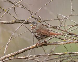 Fox Sparrow (zamora) by Gary Woods