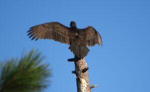 Turkey Vulture by Nina Jones