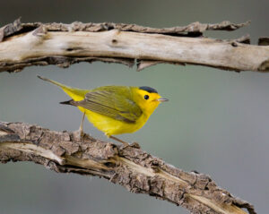 Wilson's Warbler by Gary Woods