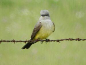 Western Kingbird by Nina Jones